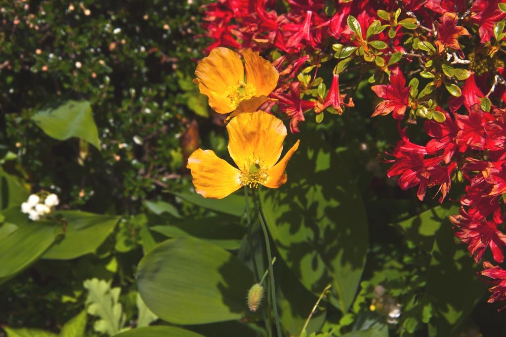 Wales - Flower
