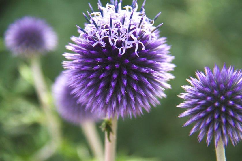 Cambridge Blaue Blumen_1